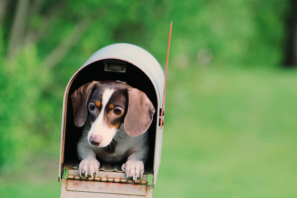 Small brown and white dog in an open mailbox.
